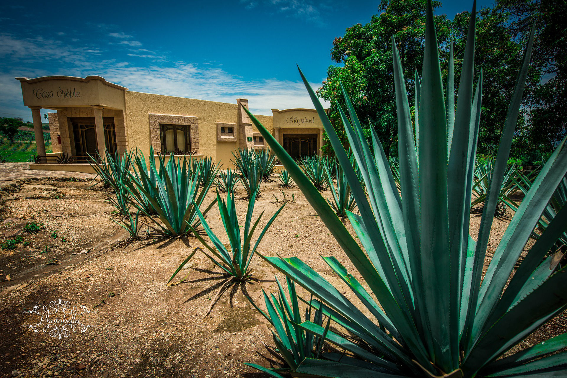 What Plant Makes Tequila and Mezcal?