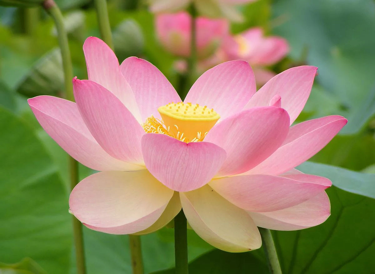 Why the Lotus Flower Is a Plant Celebrity