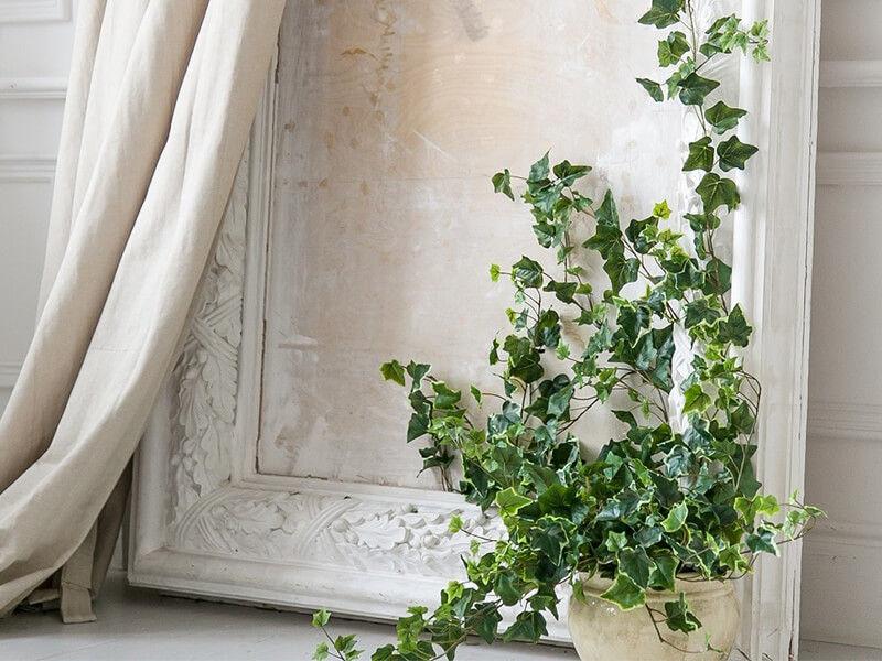 Trồng cây thường xuân giúp khử mùi trong phòng hiệu quả