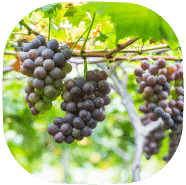 sunscreen ingredients - vitis vinifera
