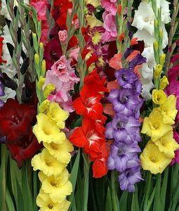 Multicolour Gladiolus 5 Bundles