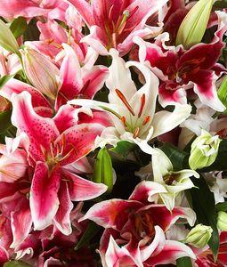 Oriental Lilies in Bulk 3 Bundles