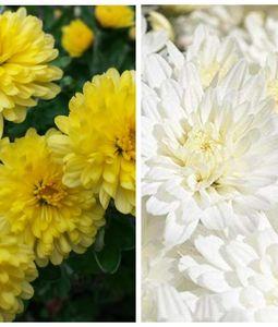 Chrysanthemum (Guldavari) in Bulk