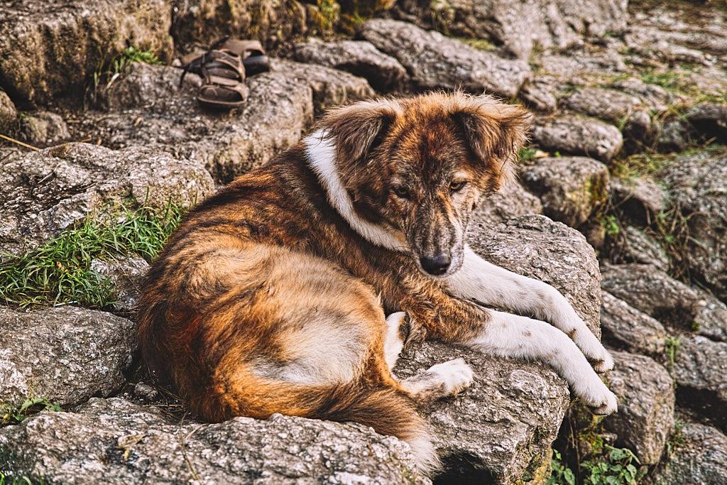 Sheru the guard dog in Bakluddu