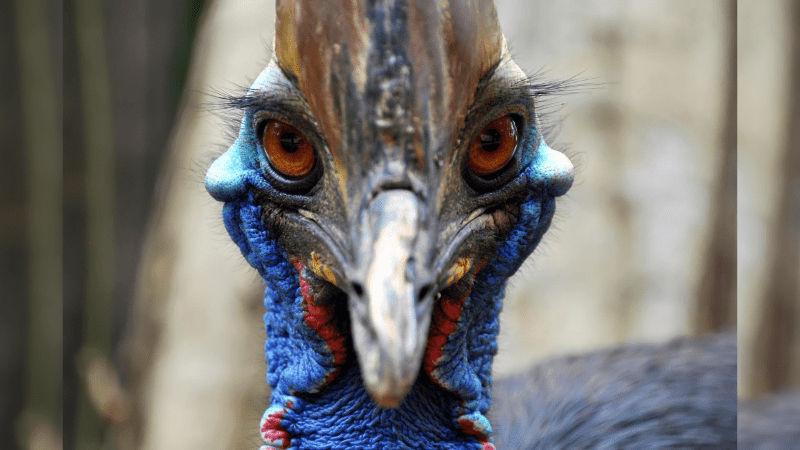 World's Most Dangerous Bird Cassowary Bird