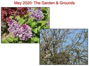 05-13 Liliacs and Flowering Trees
