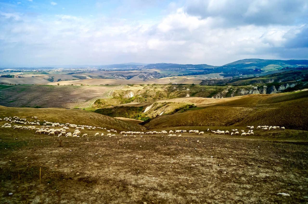 Pascolo sulle Crete senesi, con le tipiche biancane sullo sfondo