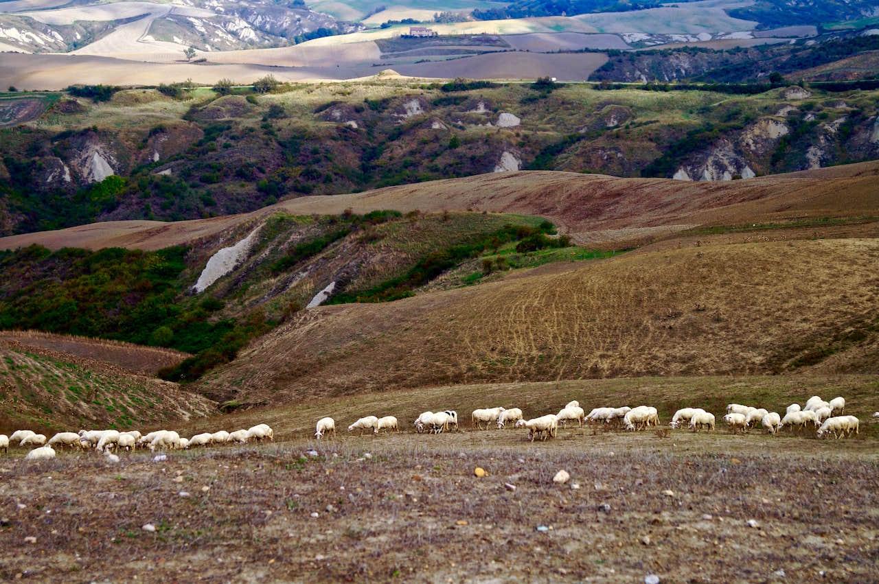 Pascolo sulle Crete senesi, con le pecore lasciate libere di brucare le erbe selvatiche