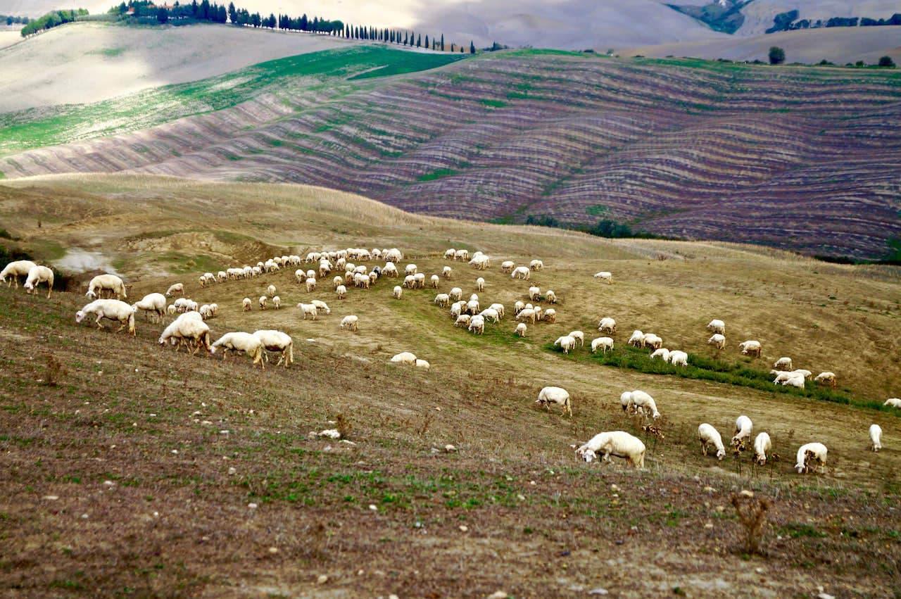 Gregge di pecore nei pressi di Asciano