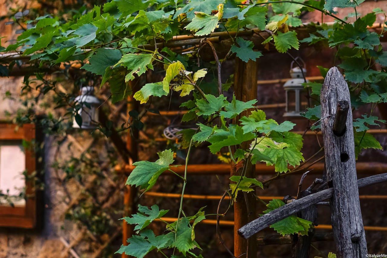 Una delle tantissime piante di vite che incontrerete nella vostra passeggiata per il centro storico di Orvieto