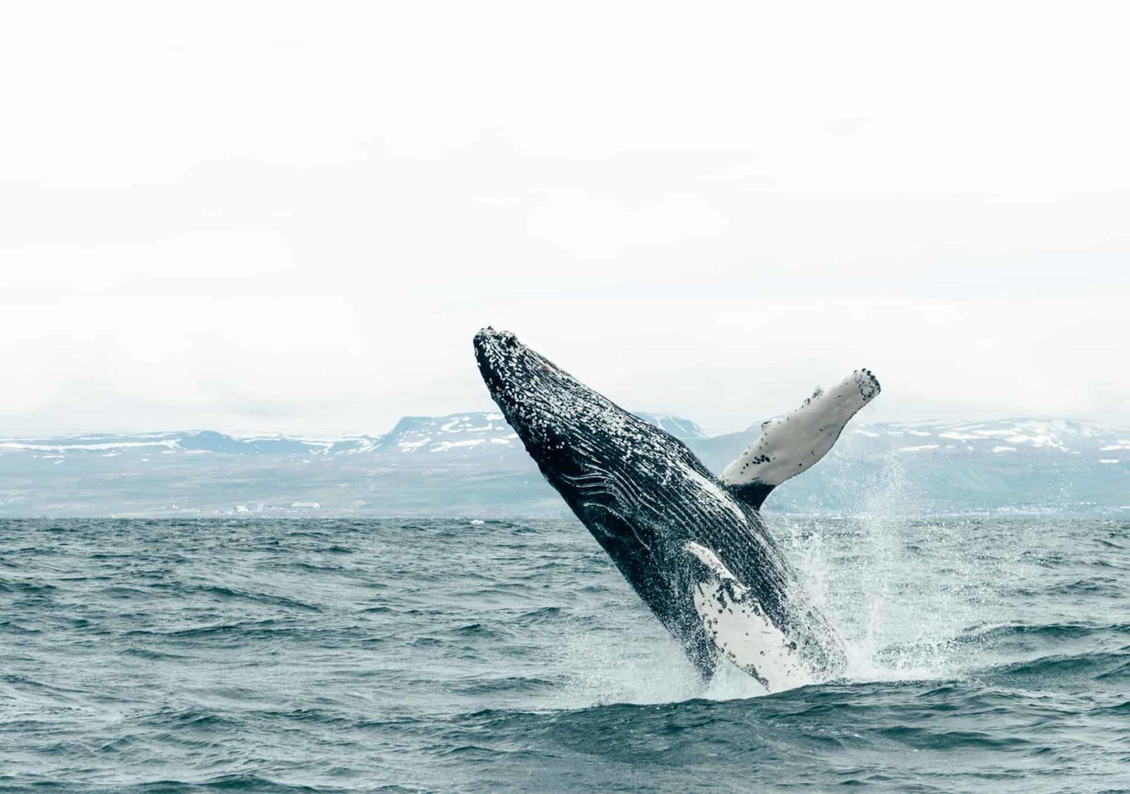 silent whale watching húsavik