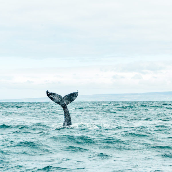 silent whale watching tour iceland