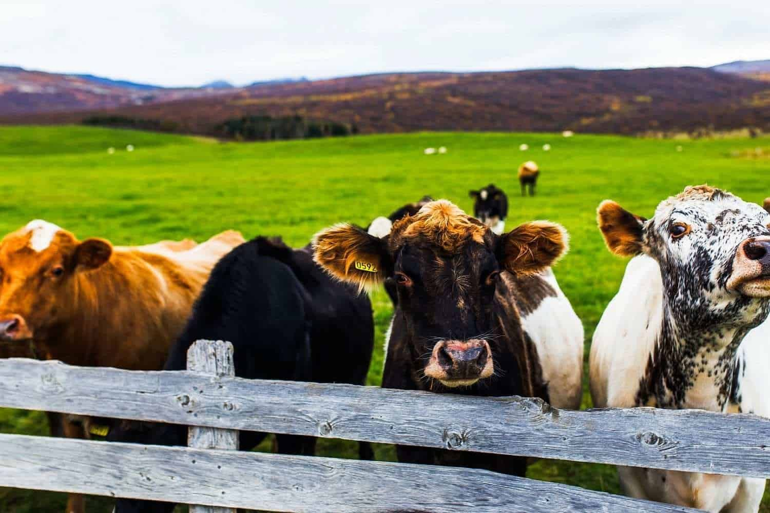 cows iceland