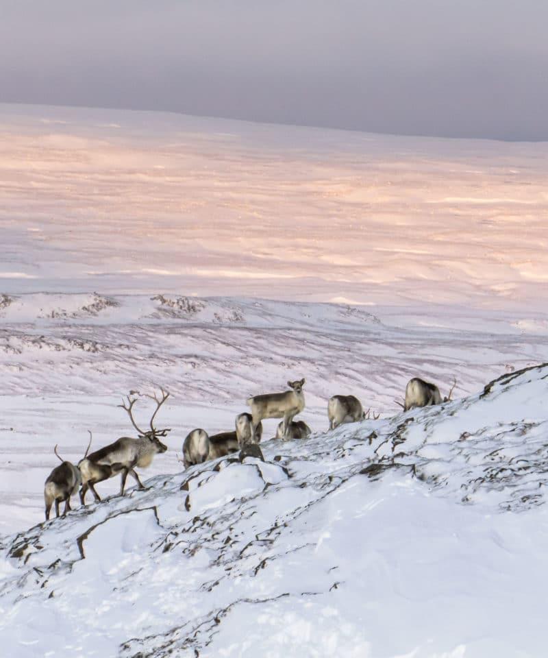 reindeer tours iceland
