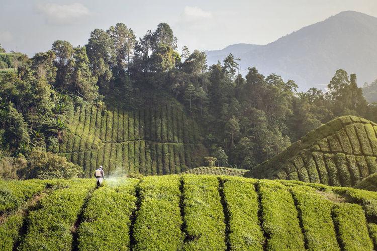Pesticides on a tea farm