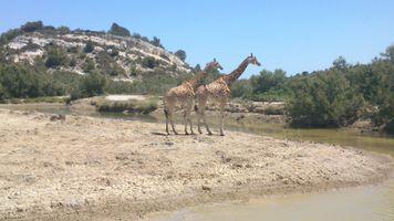 File:Girafes Sigean.jpg