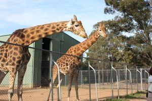 File:Giraffa camelopardalis -Taronga Western Plains Zoo, near Dubbo, New South Wales, Australia-8a.jpg