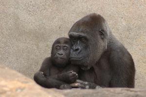 File:Gorilla gorilla in Taronga Zoo - 01.jpg