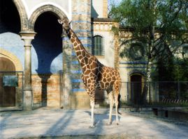 File:Giraffe-berlin-zoo.jpg