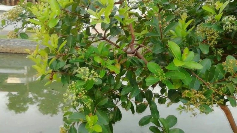 Dwarf Black Plum Tree as an indoor plant which can grow higher