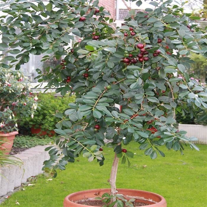 Strawberry guava as an indoor plants for your home