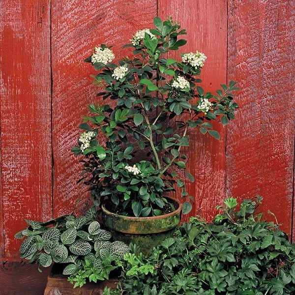 Orange Jasmine Plant as an indoor plants for your home