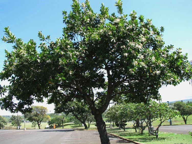 Domba tree - Suitable plant for shade