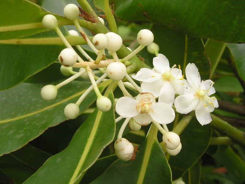 flowers of Domba tree
