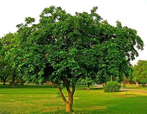 big magul karanda tree. suitable plants for shade