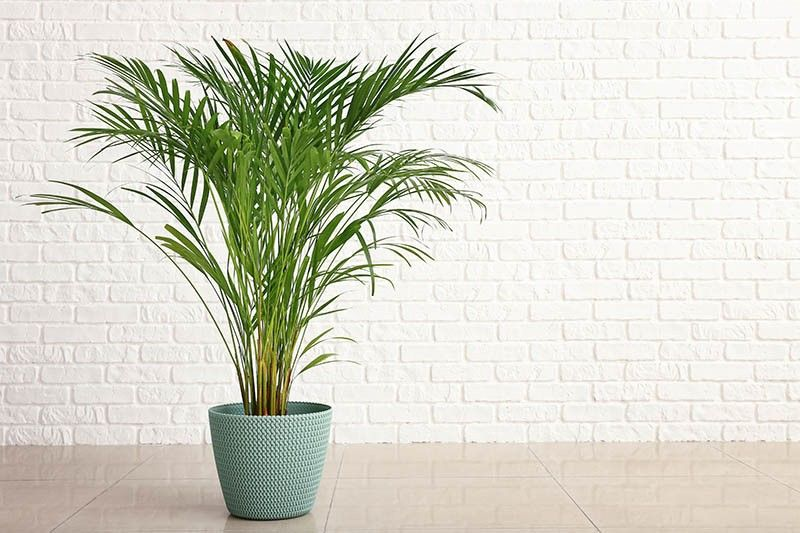 Areca palm as an indoor plants for your home