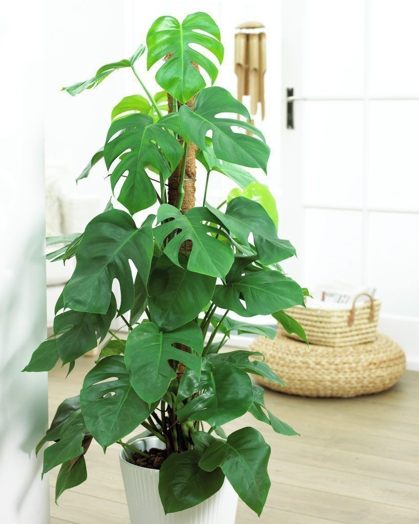 Cheese plant as an indoor plants for your home