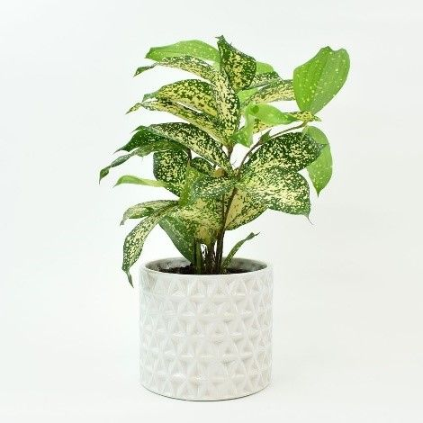 Gold Dust Dracaena as an indoor plants for your home