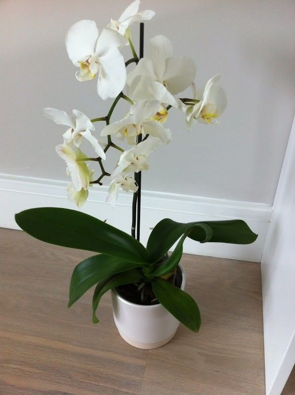 Moth Orchids as an indoor plants for your home