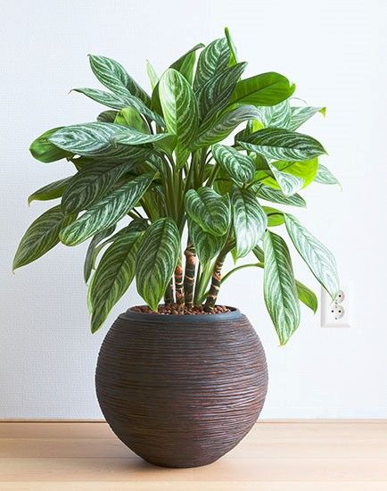 Chinese Aglaonema as an indoor plants for your home