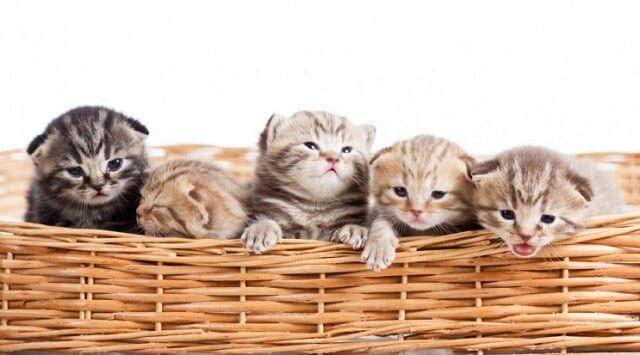 Tahap Perkembangan Anak Kucing