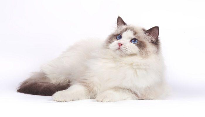 Merawat Bulu Kucing