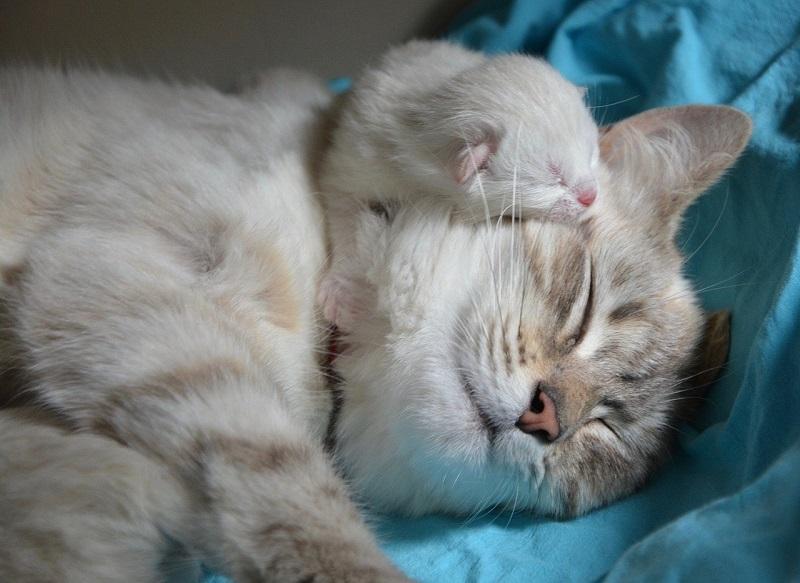 Kenapa Kucing tidak mau makan setelah melahirkan