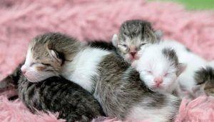 Makanan Anak Kucing Yang Baru Lahir