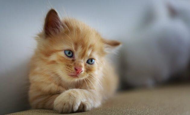 Merawat Kucing Kecil