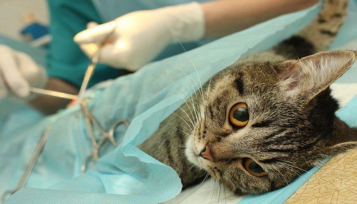 Perubahan Kucing Setelah Dikebiri