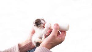 Susu Manusia Yang Cocok untuk Anak Kucing
