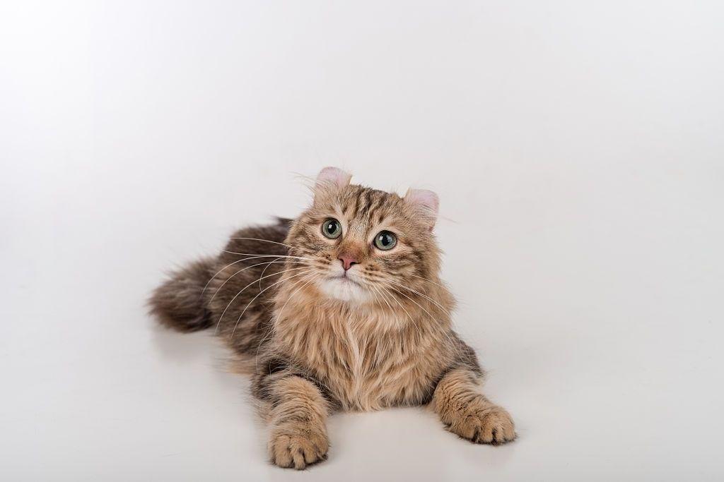 Kucing Mini American Curl