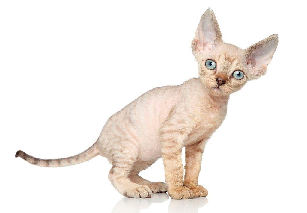 Kucing Mini Devon Rex