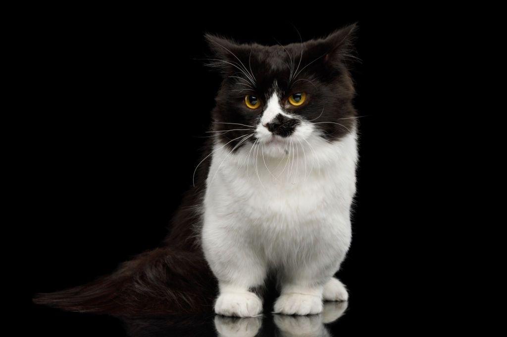Kucing Mini Munchkin