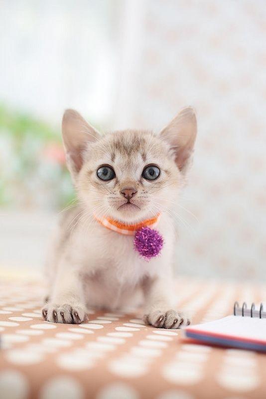 Kucing Mini Singapura