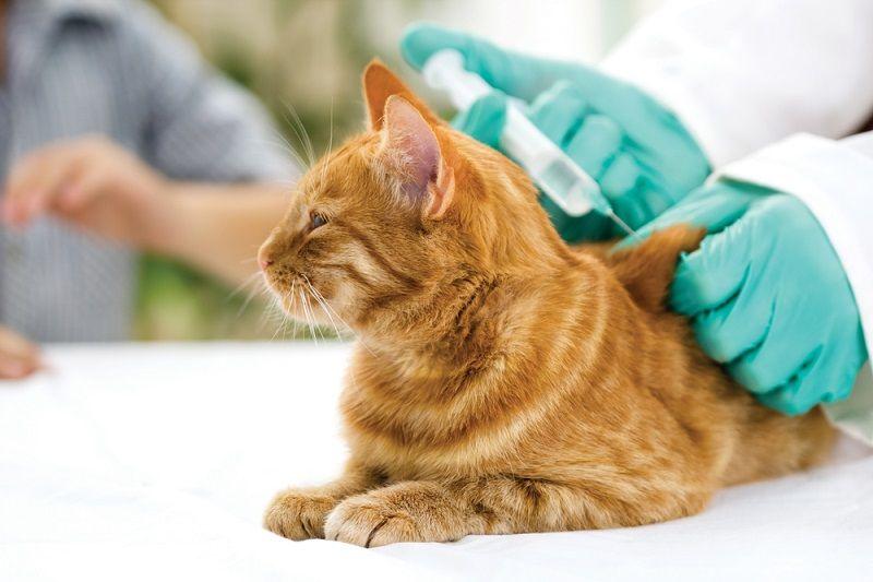 Jenis Vaksin Kucing