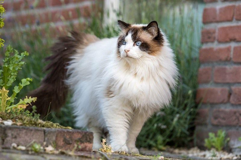 Cara Melebatkan Bulu Kucing Agar Tampil Mempesona