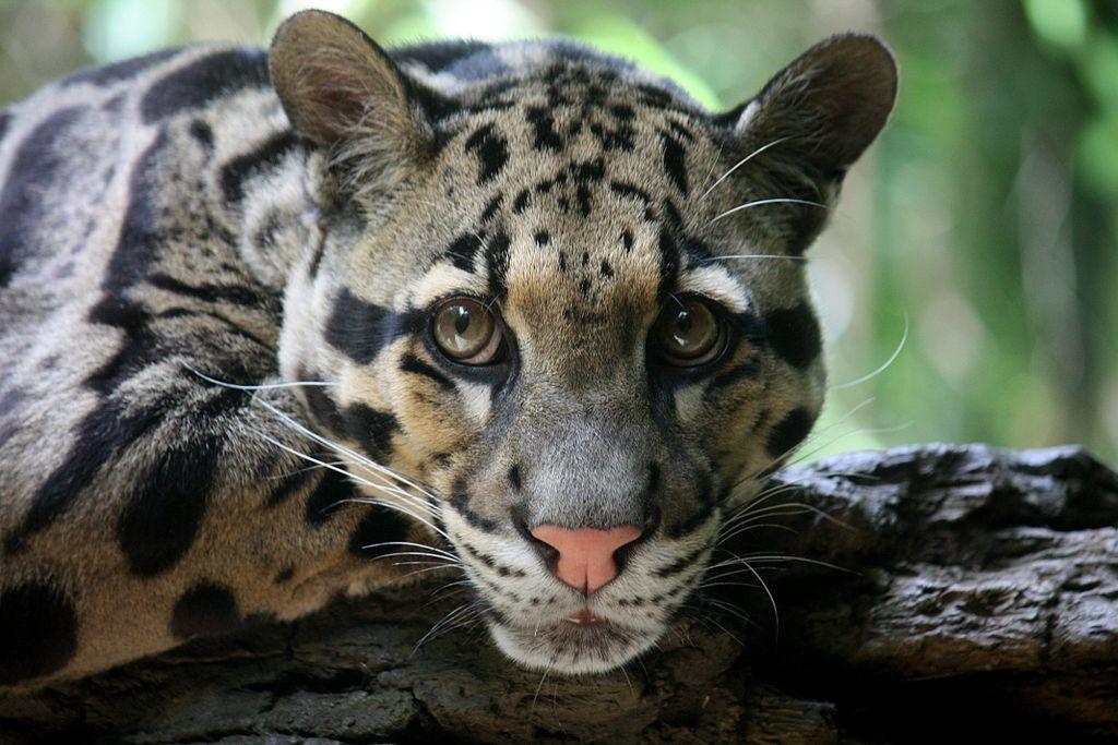 Jenis-jenis Kucing di Indonesia Kucing Hutan