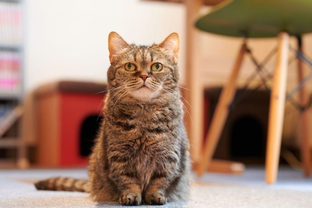Jenis-jenis Kucing di Indonesia Munchkin