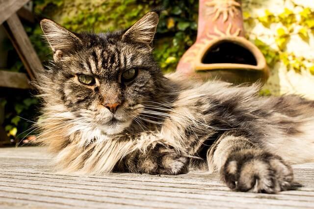 Kucing Maine Coon